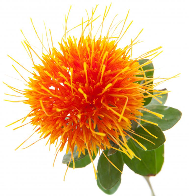 Oil from the safflower plant is high in polyunsaturated fat.